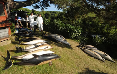 Mass stranding of common dolphins in Cornwall June 2008 © PA Photos