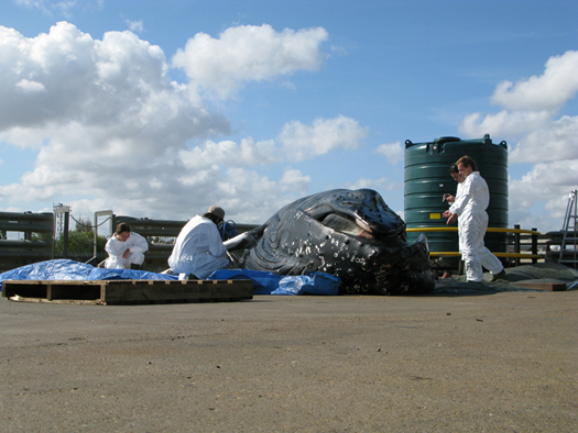 ZSL team conducting post mortem examination of the humpback whale (Megaptera novaeangliae). © CSIP/ZSL